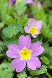 sibthorpii del primula della primaverina del fiore vulgaris immagini stock