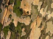 Sicómoro Bark2 Foto de archivo libre de regalías
