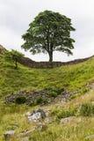 Sicómoro Gap en Roman Wall Northumberland, Inglaterra Imagen de archivo libre de regalías
