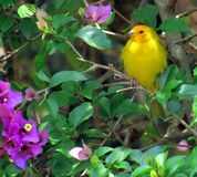 Sicalis flaveola  Canario da Terra. The true canary or canary of the earth is also known in Brazil as canary-da-horta, canary-da-telha, canary-do-campo, canary Stock Photo