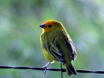 Sicalis flaveola. The canary is a wild bird native to South America. In the wild, it lives in forest edges, dry fields, areas of cerrado and surroundings of Stock Photo