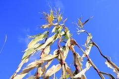 Siccità ed il raccolto arruginito del cereale Fotografia Stock Libera da Diritti