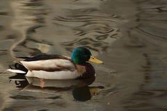 Sich hin- und herbewegende Ente stockfoto