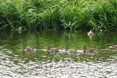 Sich hin- und herbewegende Enten Stockfotos