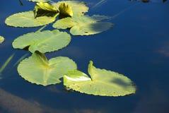 Sich hin- und herbewegende Lilien-Auflagen stockfotos