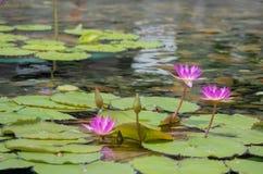 Sich hin- und herbewegende Lotosblume mit 3 Rosa im Teich mit den Felsen aus den Grund Stockfotografie