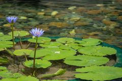 Sich hin- und herbewegende purpurrote Lotosblume im Teich mit den Felsen aus den Grund Lizenzfreie Stockbilder