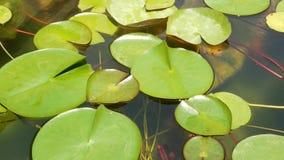 Sich hin- und herbewegende Seerosen im Teich Oben von den grünen Blättern, die in ruhiges Wasser schwimmen Symbol der buddhistisc stock footage