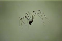 Sich hin- und herbewegende Spinne Lizenzfreie Stockfotos