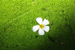 Sich hin- und herbewegende weiße Blume Lizenzfreie Stockfotografie