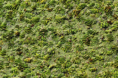 Sich hin- und herbewegender Farn (Salvinia natans) auf Wasseroberfläche Stockbilder
