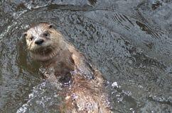 Sich hin- und herbewegender Fluss-Otter auf seinem zurück in einem Fluss Lizenzfreie Stockbilder