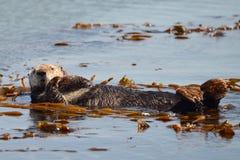 Sich hin- und herbewegender Otter Stockbild