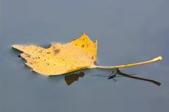 Sich hin- und herbewegendes Blatt mit Wasser striders Lizenzfreies Stockfoto