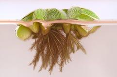 Sich hin- und herbewegendes Moos (Salvinia rotundifolia) Lizenzfreie Stockfotografie