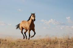 Sich hin- und herbewegendes Wildleder-Pferd Lizenzfreies Stockbild
