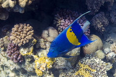 Sichel-Kaiserfisch - Angelfsh in Red Sea, Egyp royalty free stock photo