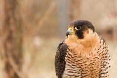 Sichernde Barbary-Falke Falco-pelegrinoides, Falknerei Lizenzfreies Stockbild