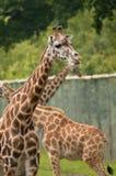 Sichernde Giraffen Lizenzfreie Stockbilder
