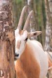 Sichernde roan Antilope Stockbilder