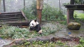 Sichuan, China - 08/03/2015: Panda die bamboe in een reserve in Sichuan, China eten stock footage
