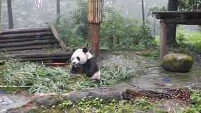 Sichuan, China - 08/03/2015: Panda eating bamboo in a reserve in Sichuan, China stock footage