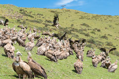 SICHUAN, CHINA - SEP 20 2014: Vulture at Sky burial site in Laru Stock Image