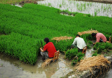 Sichuan :Chinese Farmer Stock Images