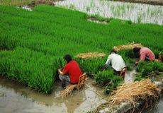 Sichuan: Coltivatore cinese Immagini Stock