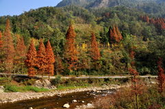 Sichuan Province, China: San Shou Trees. Unusual San Shou trees with bright rust-coloured Autumnal leaves and Golden Gingko trees on a mountain hillside at Bai royalty free stock photography