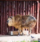 Sichuan Takin Stock Images