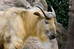 Sichuan takin. Climbing on rocks and looking Stock Image