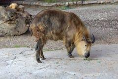 Sichuan-Takin - Budorcas dos bovídeos do Artiodactyl fotografia de stock royalty free