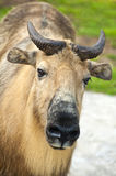 Sichuan takin (Budorcas taxicolor tibetana) Royalty Free Stock Photos