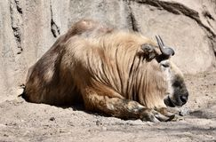 Sichuan Takin. This is an early Spring picture of a Sichuan Takin resting in its compound at the Lincoln Park Zoo located in Chicago, Illinois in Cook County Stock Photo
