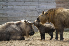 Sichuan Takin family Royalty Free Stock Photography