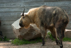 Sichuan Takin. This older male takin is now deceased. The Sichuan Takin is thought to be the golden fleece in the ancient story of Jason and the argonauts Stock Image
