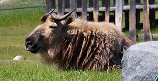 Sichuan Takin Stock Photography