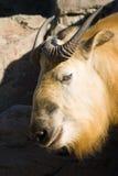 sichuantakin takin tibetan Obraz Stock