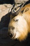 Sichuantakin or Tibetan takin Stock Image