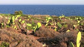 Sicilië, stekelige peren stock footage