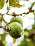 Siciliaanse citroen Royalty-vrije Stock Fotografie