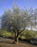 Siciliaanse olijfboom royalty-vrije stock fotografie