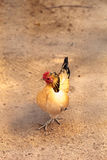 Sicilian Buttercup Chicken. Scratches the ground and pecks for food in a farm yard royalty free stock image