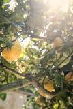 Sicilian citron på träd Arkivbild