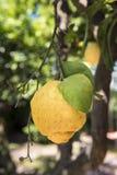 Sicilian citron på träd Royaltyfri Bild