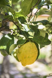 Sicilian citron på träd Royaltyfri Foto
