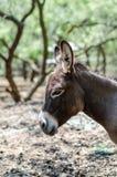 Sicilian donkey Head facing left royalty free stock photos