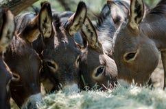 Sicilian Donkeys in Barnyard stock photography