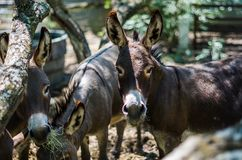 Sicilian Donkeys Eating Hay in Barnyard. Sicilian Donkeys in Barnyard eating from some bales of hay under a mesquite tree. These donkeys have the shadow of the royalty free stock photos